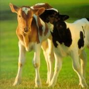 calves-whispering