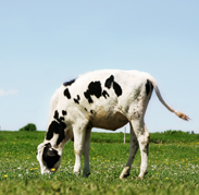 Young Cow Grazing 2