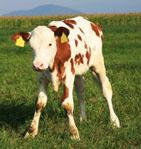 Small Calf sml